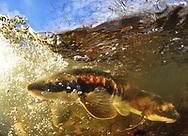 Longnose Sucker (spawning)<br /> <br /> Paul Vecsei/Engbretson Underwater Photography