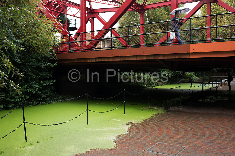 Green duck weed takes over at one of the London Dock waterways in Wapping, London, England, United Kingdom.