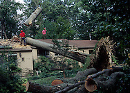 A 16.2 MG IMAGE OF:.A tree that had been uprooted by the winds of Hurricane Isabel  in Fairfax County , Virginia. Photo by dennis brack