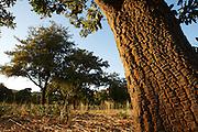 Shea trees outside Siby near Bamako, Mali on Friday January 15, 2010.