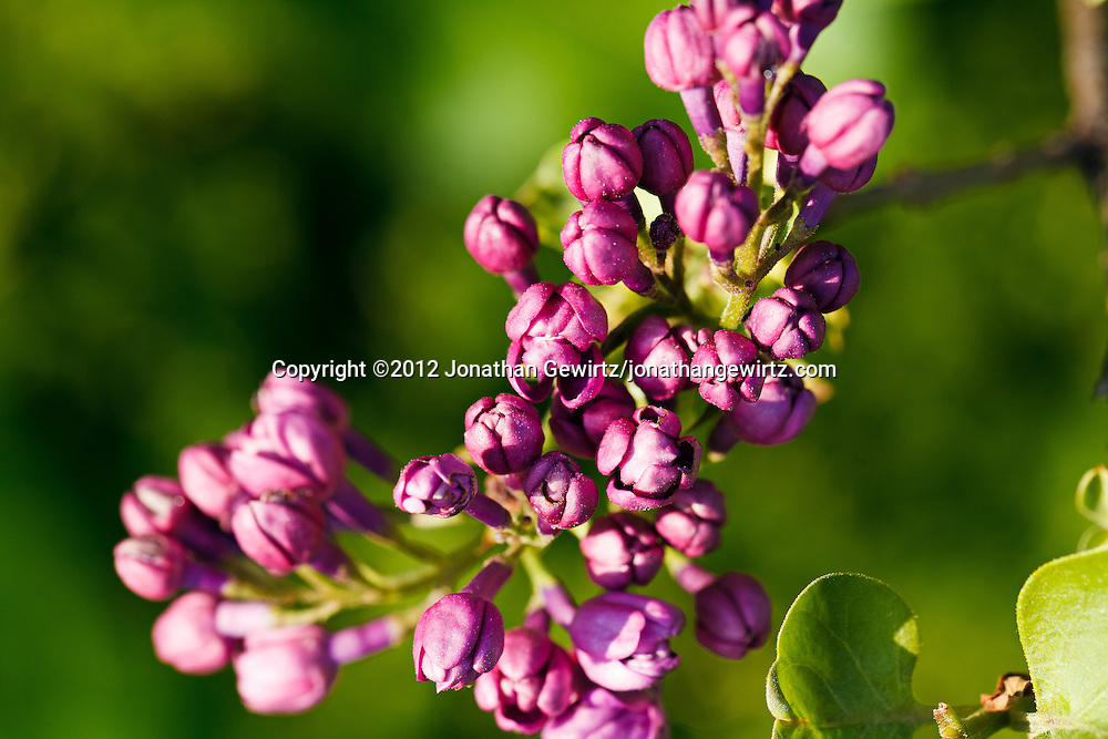 Purple buds on a flowering tree. WATERMARKS WILL NOT APPEAR ON PRINTS OR LICENSED IMAGES.