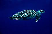 UNDERWATER MARINE LIFE CARIBBEAN, generic TURTLES; Hawksbill turtle