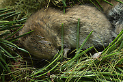 A red tree vole (Arborimus longicaudus) sleeps in a nest made from the discarded resin ducts from Douglas-fir needles, Fresh, uneaten needle clippings are also present. Red tree voles are nocturnal and live in Douglas fir tree-tops and almost never come to the forest floor.  They are one of the few animals that can persist on a diet of conifer needles which is their principle food.  As a defense mechanism, conifer trees have resin ducts in their needles that contain chemical compounds (terpenoids) that make them unpalatable to animals.  Tree voles, however, are able to strip away these resin ducts and eat the remaining portion of the conifer needle.