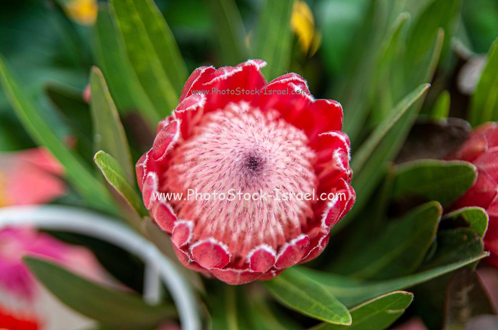 Flowering King Protea (Protea cynaroides) var in a garden. Photographed in Aveiro, Portugal