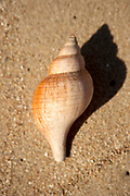Shell beach, Banded Tulip shell, St. Barthelemy, FWI