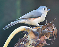 Tufted Titmouse (Baeolophus bicolor). Image taken with a Nikon N1V3 camera and 70-300 mm telephoto zoom lens.