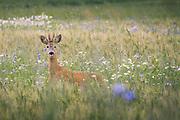 Roe deer (Capreolus capreolus) buck crossing wheat fields with blooming cornflowers, Kurzeme, Latvia Ⓒ Davis Ulands | davisulands.com