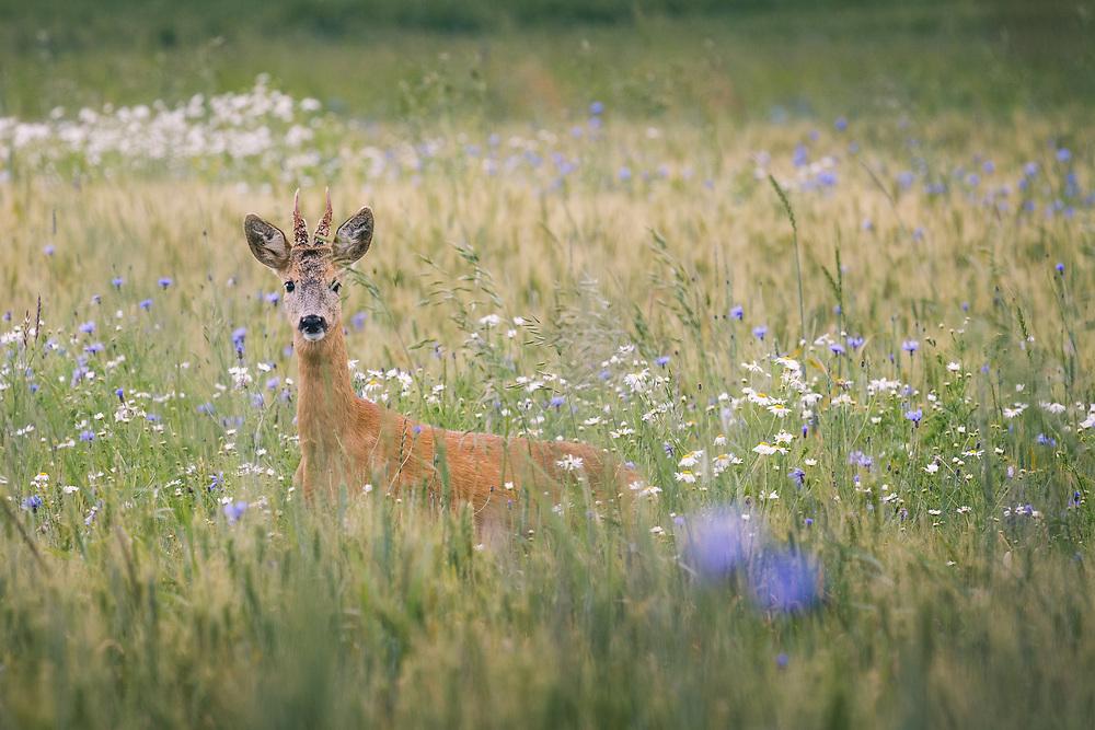 Roe deer (Capreolus capreolus) buck crossing wheat fields with blooming cornflowers, Kurzeme, Latvia Ⓒ Davis Ulands   davisulands.com