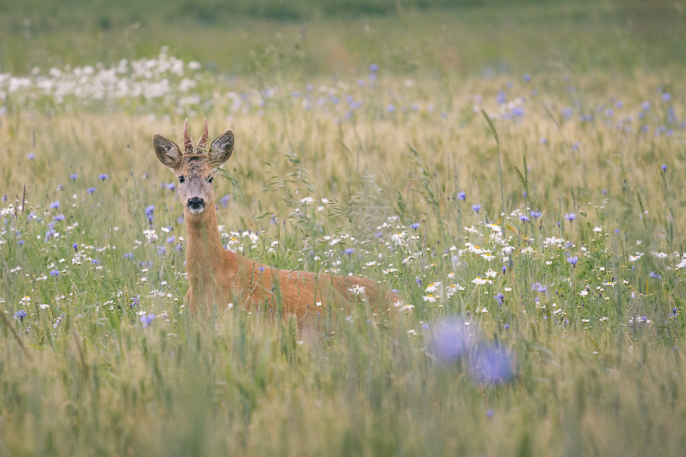 Roe deer (Capreolus capreolus) buck crossing wheat fields with blooming cornflowers, Kurzeme, Latvia Ⓒ Davis Ulands | davisulands.com