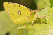 Clouded yellow (Colias croceus) butterfly freshly emerged. Sussex, UK.