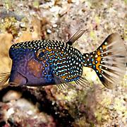 Spotted Boxfish inhabit reefs. Picture taken Banda, Suanggi Inslet, Indonesia.