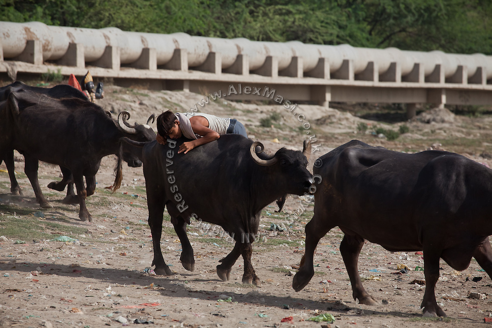 A boy is preparing to cross the heavily polluted and semi-dry Yamuna River with his buffaloes, in Agra.