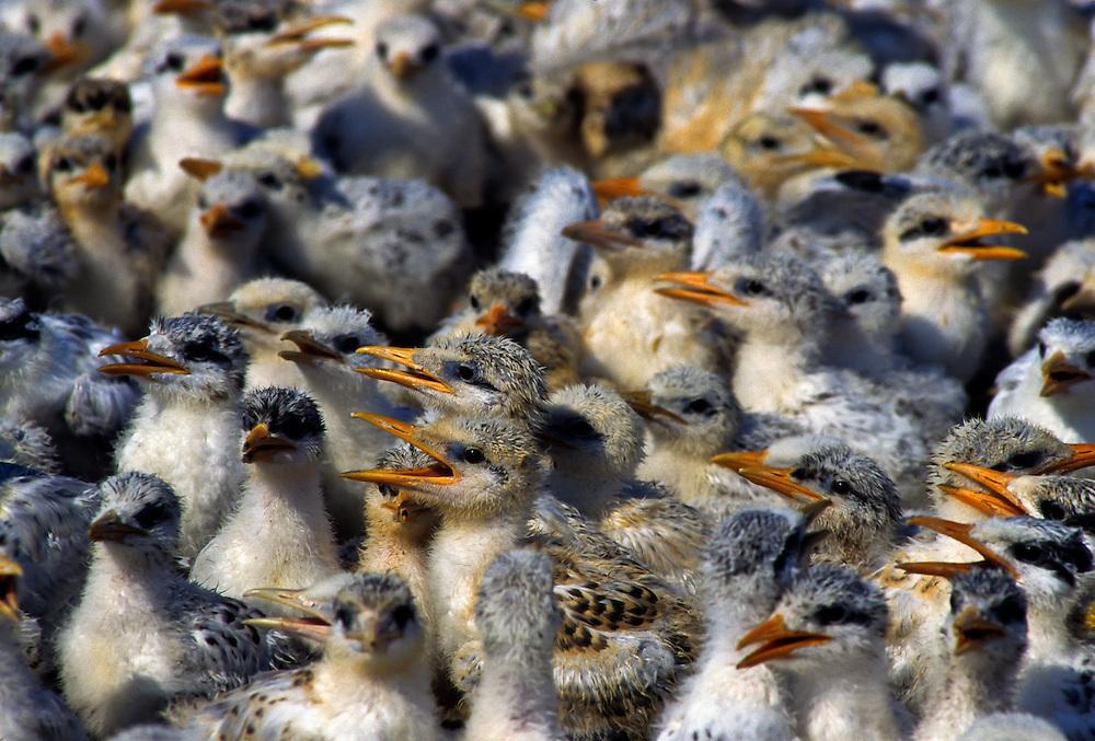 Tern chicks along the Atlantic Coast.