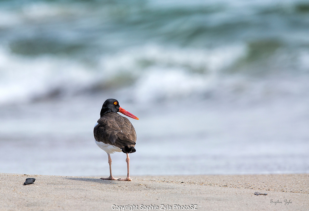 American Oystercatcher Waiting for a mate