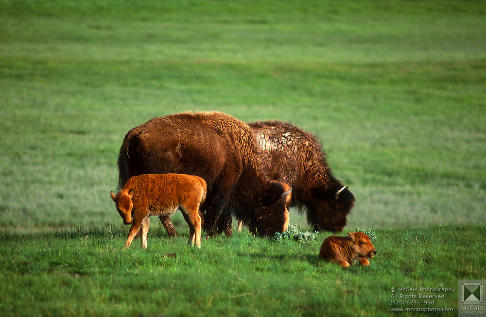Bison (Bison bison) herd with calf in meadow, Yellowstone National Park, Wyoming ..Subject photograph(s) are copyright Edward McCain. All rights are reserved except those specifically granted by Edward McCain in writing prior to publication...McCain Photography.211 S 4th Avenue.Tucson, AZ 85701-2103.(520) 623-1998.mobile: (520) 990-0999.fax: (520) 623-1190.http://www.mccainphoto.com.edward@mccainphoto.com.