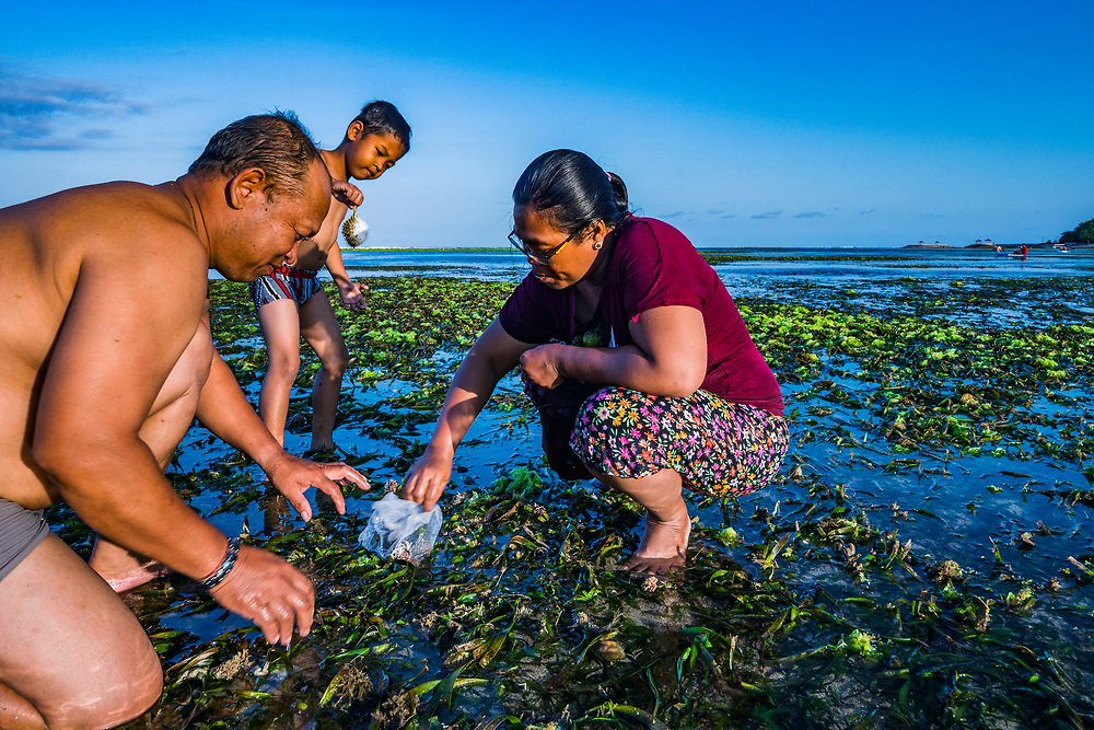 A family collects fruit in a tape seagrass (Enhalus acoroides) bed at low tide in Bali, Indonesia.