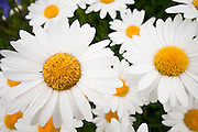 A group of white daisies are shown in this picture from Rochester, New York. Missoula Photographer