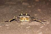 tufted ghost crab (Ocypode cursor) on sand. Ghost crabs live on sandy shores in tropical and subtropical regions around the world. Photographed on the Mediterranean Shore, Israel