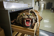 Tiger rug in a draw at Tulane's Natural History Museum.