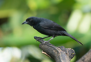 White-lined Tanager, Tachyphonus rufus