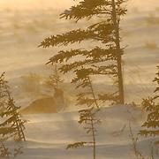 Red Fox (Vulpus fulva) Near Churchill, Manitoba, Canada. Winter.