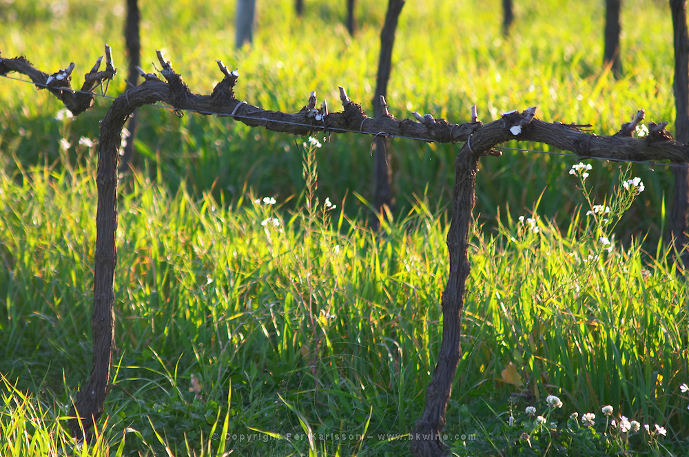View over the vineyard at sunset. Vines trained in Cordon Royat, winter pruned, wooden supporting posts and metal wires to tie the vines to. Some white flowers back-lit. Bodega Carlos Pizzorno Winery, Canelon Chico, Canelones, Uruguay, South America
