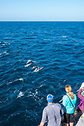 Common dolphins breach and swim along an Island Packers tourist boat near the Channel Islands, California, USA.