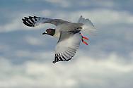 Swallowtailed Gull (Creagrus furcatus), Punta Suarez, Española, Galapagos, Ecuador