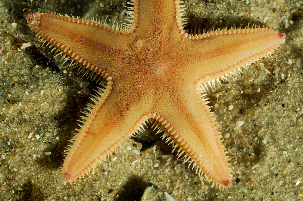 Spiny comb starfish {Astropecten irregularis} from North Sea