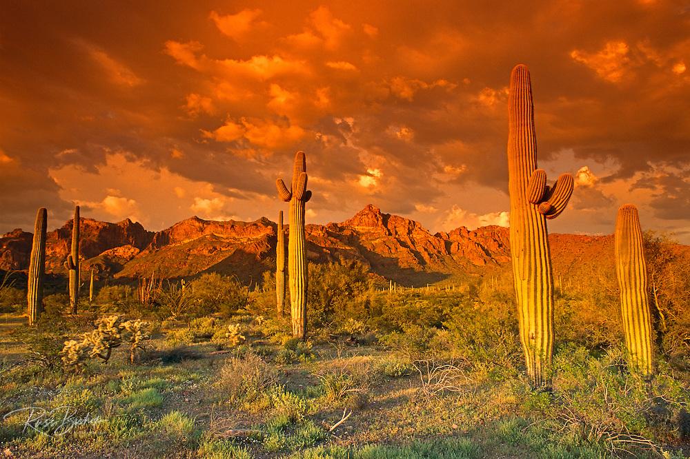 Saguaro Cactus under the Ajo Mountains, Organ Pipe Cactus National Monument, Arizona USA