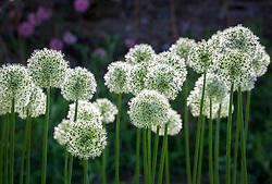 Allium stipitatum 'Mount Everest'
