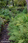 Ferns and Crocosmia × crocosmiiflora<br /> montbretia in the Fernery (area 18 on map) growing along the stream that divides The Victorian Walled Garden at Kylemore Abbey into two distinct areas. Only plants and flowers that were introduced to Ireland before 1901 are used in the gardens. The 6 acre garden is to the west of the Abbey originally known as a castle when it was built by Mitchell and Margaret Henry in the 1850's. The garden is on a south slope at the foot of Duchruach Mountain and facing Diamond Hill. It was chosen as the warmest and brightest spot on the estate with a mountain stream providing water. It is now a Benedictine community; open seven days a week all year round. The Abbey is located in Connemara in the west of Ireland. August