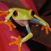 The Red Eyed Tree Frog (Agalychnis callidyas) also known as Red Eyed Leaf Frog, lives throughout Central America in lowland tropical forests and feeds on small invertebrates. Captive Animal