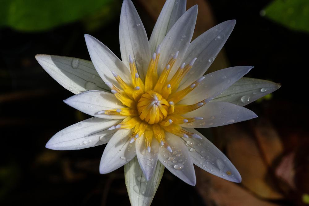 Waterlily with Manoa Rain