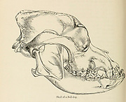 """Side view of a Skull of a Bull Dog [Bulldog] From the Book Dogs, Jackals, Wolves and Foxes A Monograph of The Canidae [from Latin, canis, """"dog"""") is a biological family of dog-like carnivorans. A member of this family is called a canid] By George Mivart, F.R.S. with woodcuts and 45 coloured plates drawn from nature by J. G. Keulemans and Hand-Coloured. Published by R. H. Porter, London, 1890"""