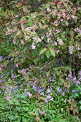 Spanish bluebells - Hyacinthoides hispanica - growing at the base of Prunus padus 'Colorata' - Bird cherry.