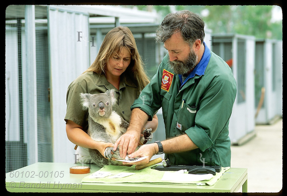 Zoologist Frank Carrick & vetnry nurse Lynne Douglas fingerprint koala @ U of Queensland;Brisbane Australia