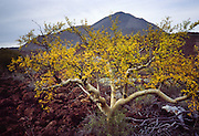 "One of the two types of ""elephant tree"" (maybe Bursera microphylla) in Baja California, MEXICO. Published in Americas Magazine, ""Bizarre Blooms of Baja"" article, April 2006 (official magazine of the Organization of American States, OAS)."