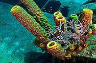 Yellow Tube Sponge and Knobby Sea Rods, Doc Paulson, Grand Cayman