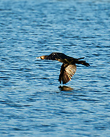 Double-crested Cormorant (Phalacrocorax auritus). Fort De Soto County Park. St. Petersburg, Florida. Image taken with a Nikon D700 camera and 28-300 mm VR lens.