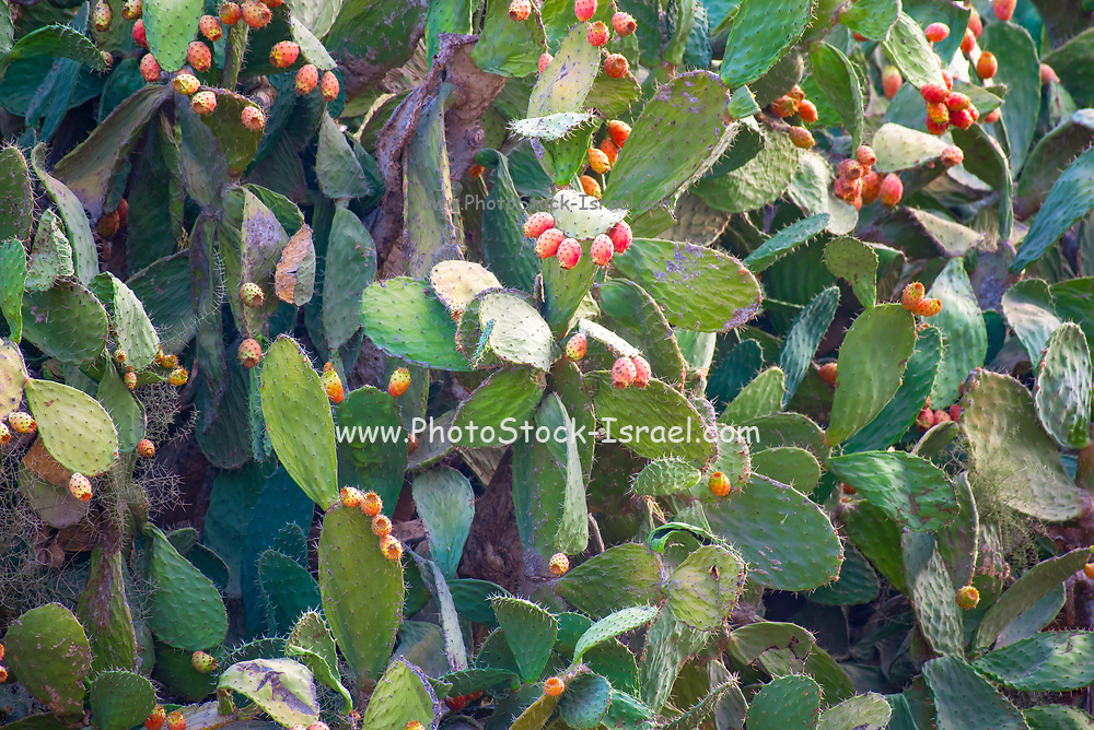 Fruit and plant of the Opuntia ficus-indica Cactus known as sabres or Tzabar an Israeli symbo