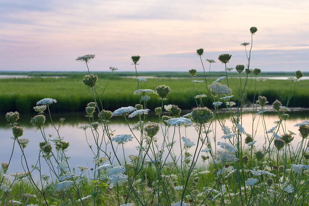 Queen Anne Lace and morning light relecting in the marsh, Bombay Hook NWR