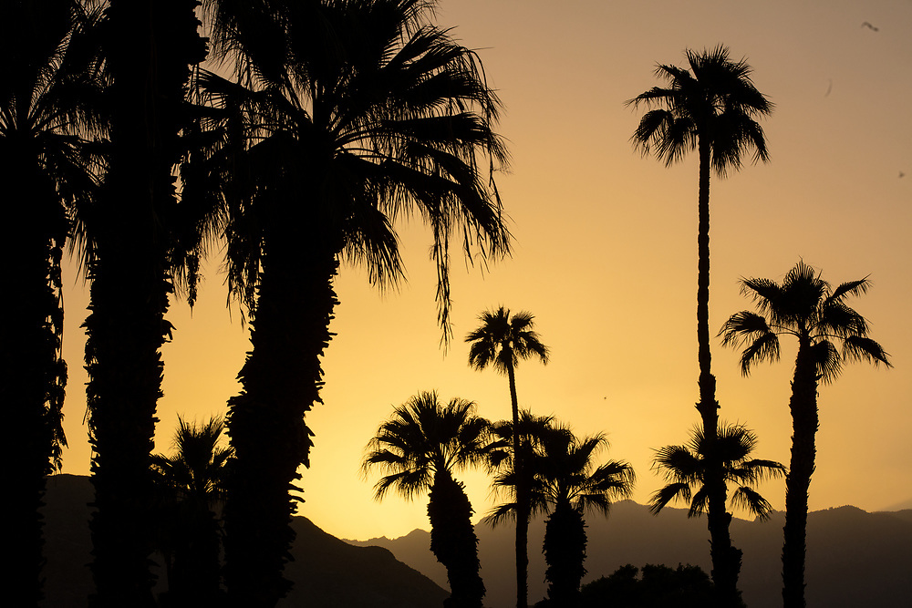 Silhouetted Palm Trees With Golden Sky
