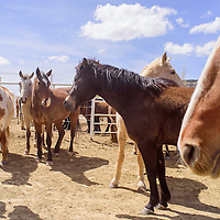 Horses wait in a pen outside the D Largo arena during the D Largo Saddle Bronc school in Pinedale Saturday.