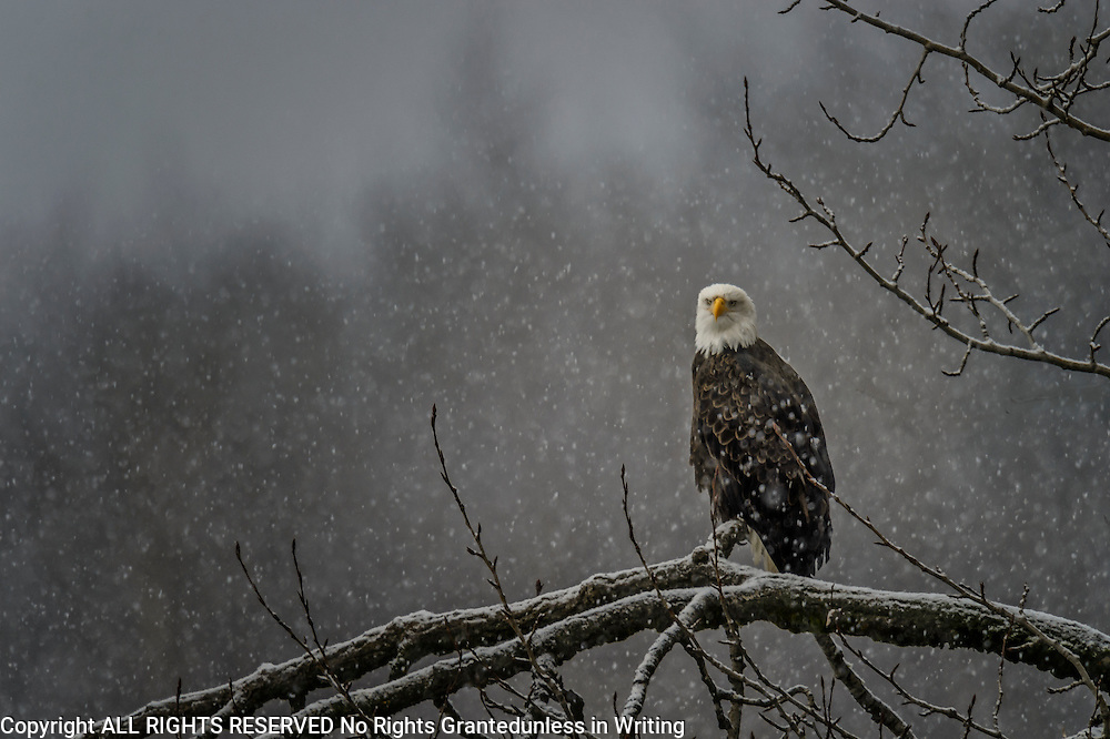 Bald Eagle (Haliaeetus leucocephalus) in a snow storm