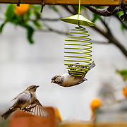 Sparrows eating grease balls.