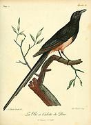 Pie a culotte de peau from the Book Histoire naturelle des oiseaux d'Afrique [Natural History of birds of Africa] Volume 2, by Le Vaillant, François, 1753-1824; Publish in Paris by Chez J.J. Fuchs, libraire 1799