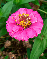 Zinnia. Image taken with a Leica SL2-s camera and Laowa 24 mm f/14 macro lens.