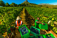 Just picked grapes are picked up from the vineyards and carried by a tractor for sorting and crushing during the wine harvest at Delaire Graff Wine Estate atop Helshoogte Pass, near Stellenbosch, Cape Winelands (near Cape Town), South Africa.