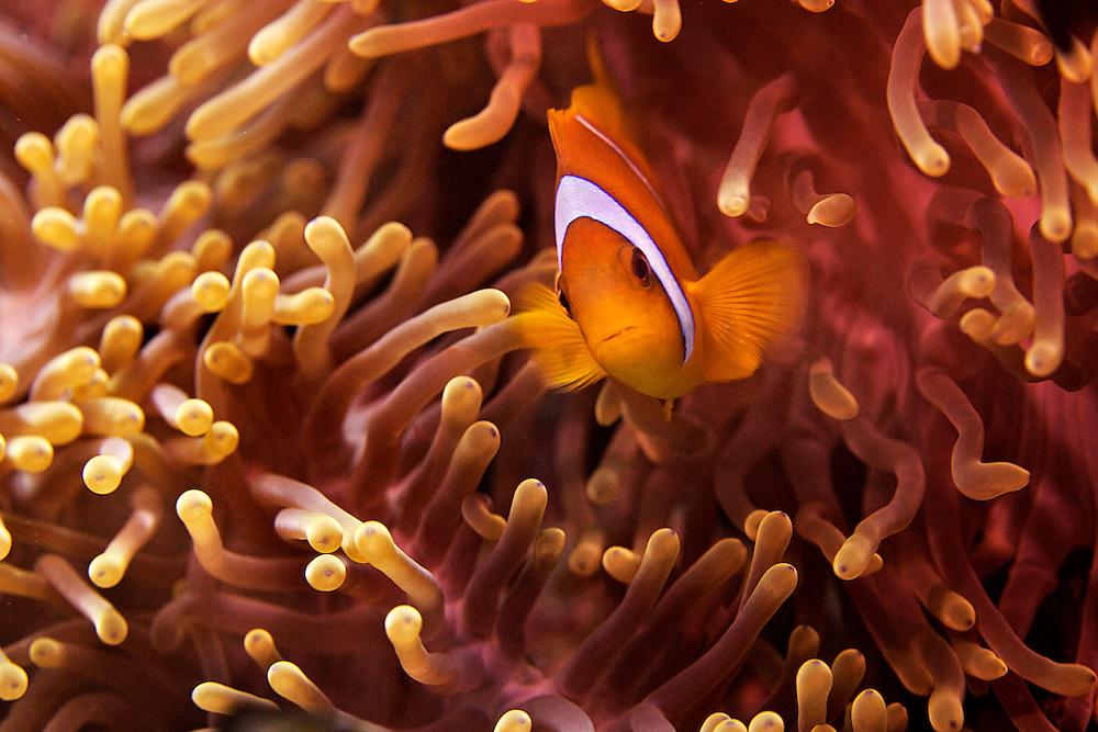 24/April/2013 Saudi Arabia. Jeddah<br /> Clown fish at Al-Fahal reef. Red Sea<br /> <br /> ©JOAN COSTA